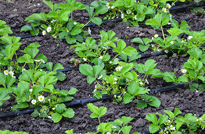 Fertigation - fertilization via irrigation as an alternative image