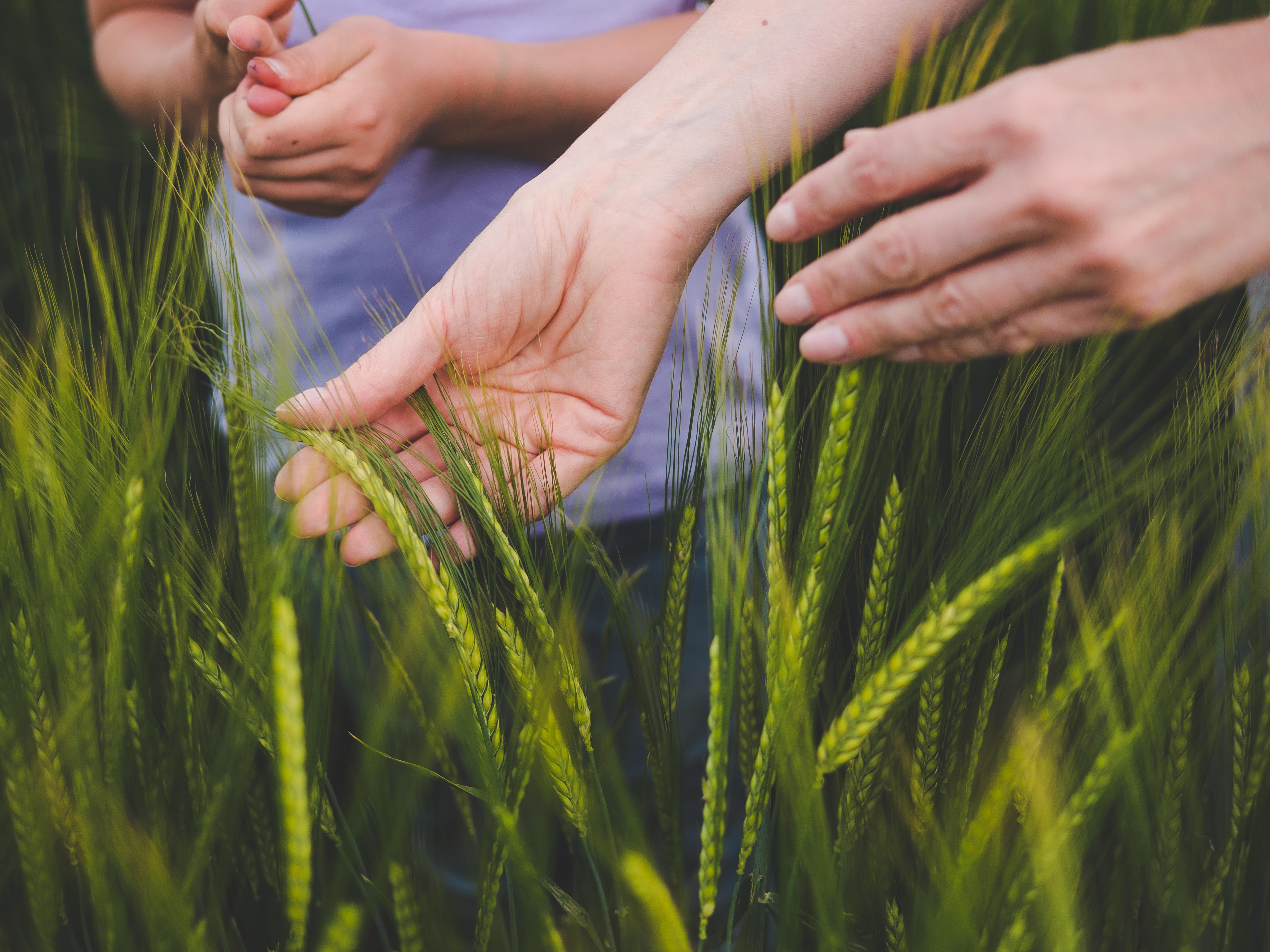 Winter barley nitrogen fertilization image