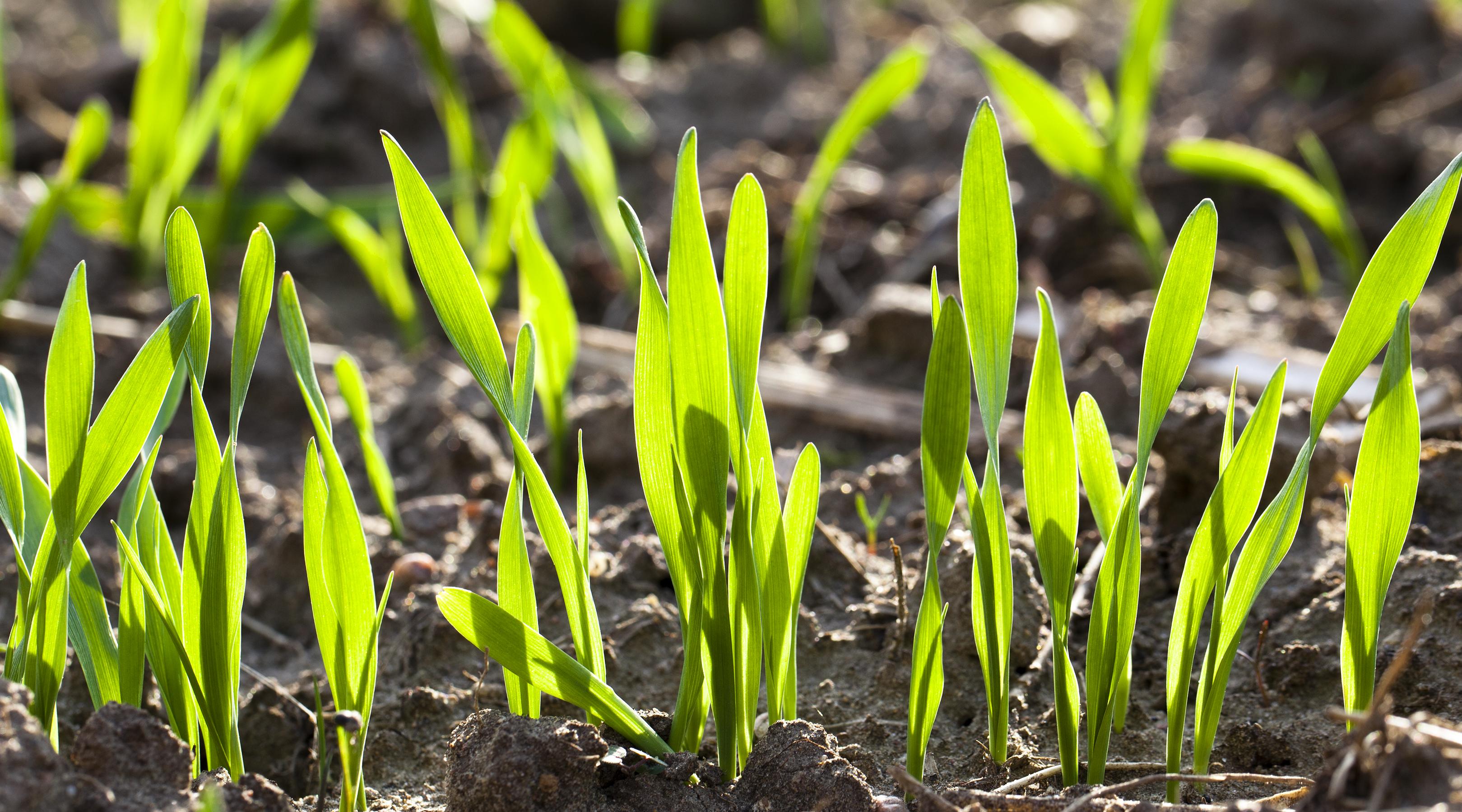 Primera fertilización nitrogenada, en el comienzo del crecimiento image